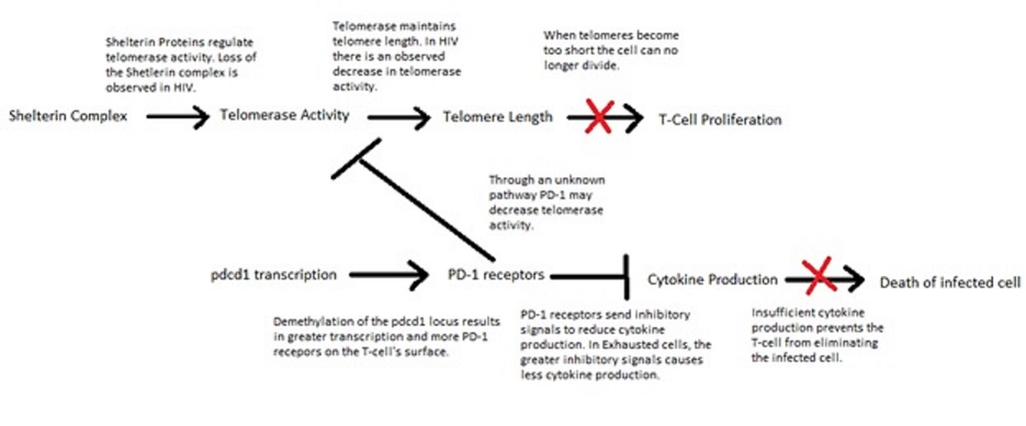 Figure 2: Summary of Epigenetic Contributors to CD8+ T-Cell Exhaustion Figure 2 summarizes the discussed epigenetic pathways which contribute to cell exhaustion in CD8+ HIV-specific T-cells.  It should be noted that the telomere related pathway has been observed thus far in HIV-specific T-cells only.  The overexpression of PD-1 is conserved between many chronic infections including HIV.