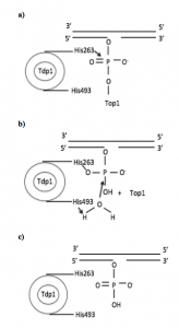 Figure 1: Mechanism for wild-type Tdp1: a) Tdp1 removes Top1 and forms a covalent intermediate with the phosphodiester moiety. b) Tdp1 removes the peptide through hydrolysis using nucleophilic substitution. His493 catalyzes the reaction. c) Tdp1 is released from DNA. (Drawn from information provided from reference 6.)