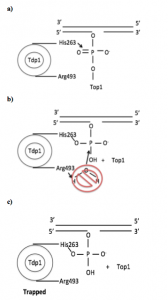 Figure 2: Proposed mechanism for SCAN1: a) Tdp1 removes Top1 and forms a covalent intermediate with the phosphodiester moiety. b) Tdp1 is unable to perform hydrolysis to catalyze removal because of the p.His493Arg mutation. c) Tdp1 is trapped on the DNA, leading to the accumulation of Top1-DNA adducts. (Drawn from information provided from reference 6.)