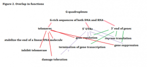 Although the function of G-quadruplexes can be summed into two general categories (see Figure 1), this web of G-quadruplex functions is meant to demonstrate the complexities that researchers face when using G-quadruplexes in cancer therapy.