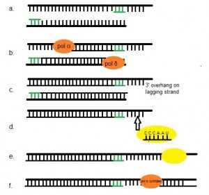 Figure 1: Mechanism of telomerase. (a.) Lagging and leading strands are primed by primase to prepare for elongation by polymerases α and δ (b.). The result is a 3' overhang on the lagging strand caused by nucleolytic degradation of the 5' end [23](c.) leaving the chromosome vulnerable to damage and shortening after each round of replication without the action of telomerase (d). Telomerase containing telomeric template attaches to the overhang and elongates (e.) the 3' overhang with a series of tandem 6 nucleotide repeats. (f). Primase with polymerases α and δ are then able to complete double strand synthesis.