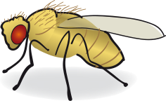 Drawing of a fruit fly