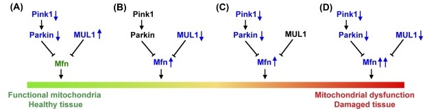Cartoon of balance between PINK1/Parkin and MUL1