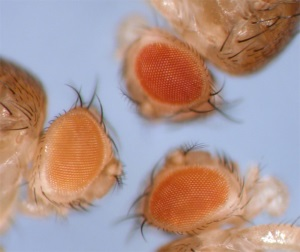 Flies with orange eyes