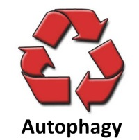 Autophagy can be thought of as a cell's recycling mechanism