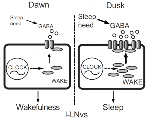 The role of WAKE in LNvs