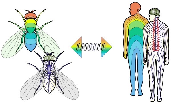 Fly Human Comparison