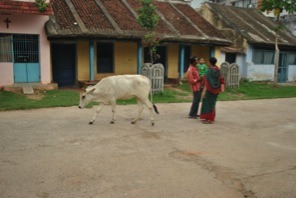 A lone cow walks down the street