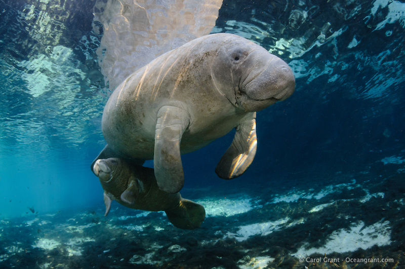 Manatee-more-CGrant-PS-070
