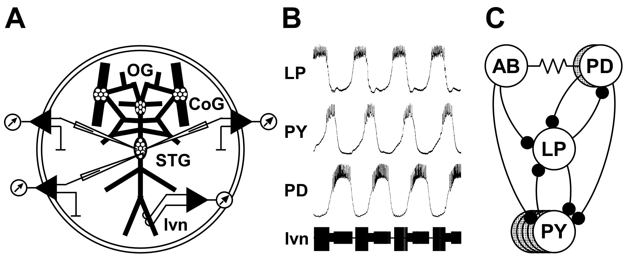 HomarusPyloricSystem