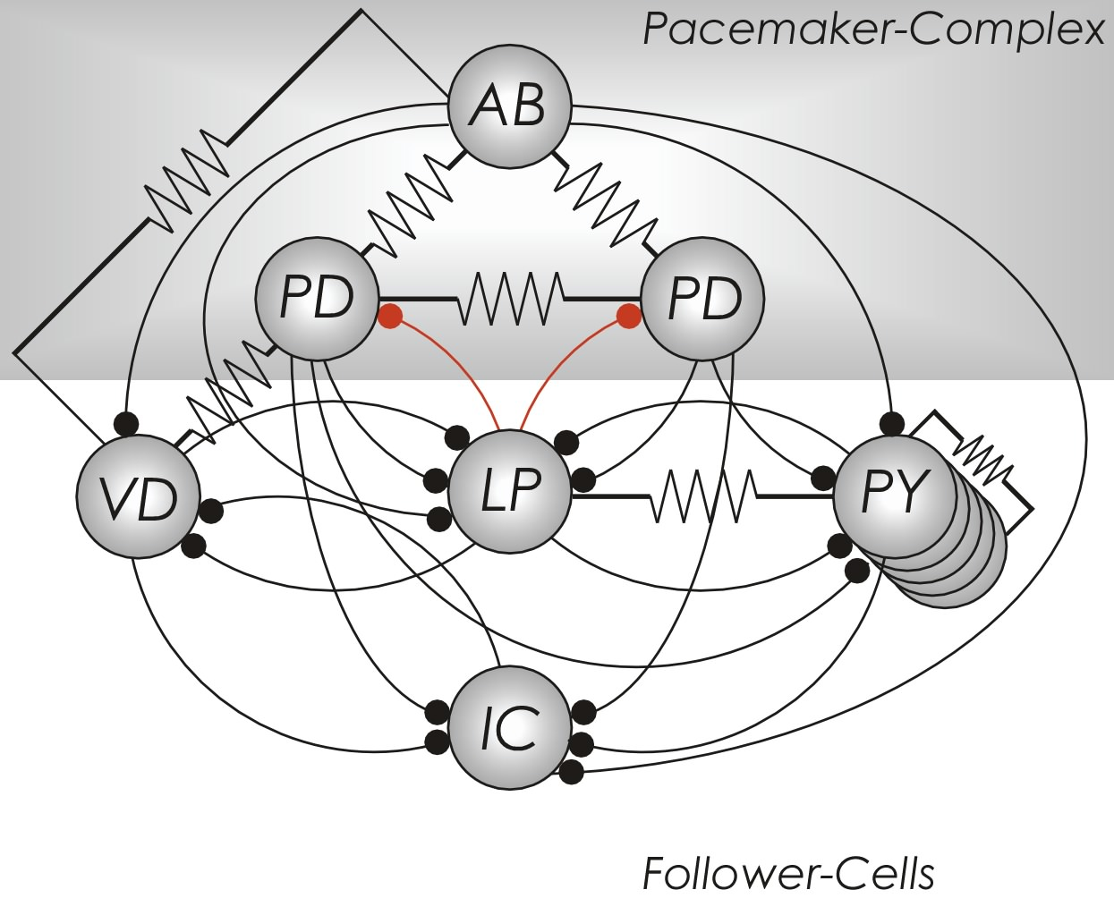 PyloricCircuit