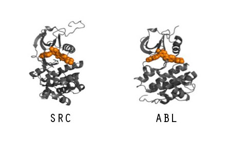 From left, Src and Abl proteins