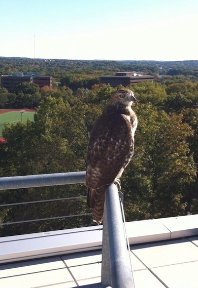 Hawk perched on the top floor balcony, Shapiro Science building