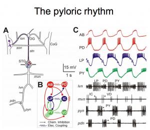 pyloric rhythm