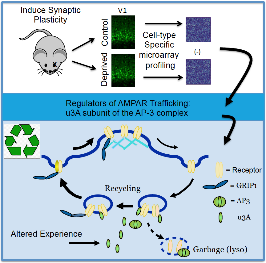 µ3A plays a critical role in the recycling of AMPA-type neurotransmitter receptors
