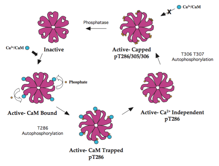 CaMKII phosphorylation and activation