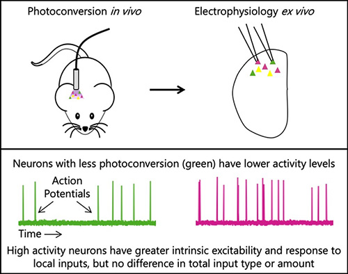 High activity neurons have greater instrinsic excitability and response to local inputs, but no difference in total input type or amount