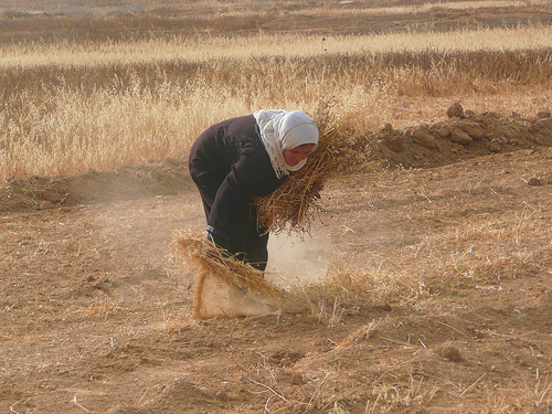 A Gazan farmer harvesting by hand in the buffer zone (Kabeer)