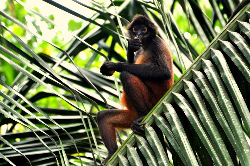 A pregnant spider monkey hanging out at an Osa research station!