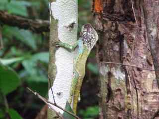 A helmeted iguana (Corytophanes cristatus): another surprise to our tree-measuring adventures!