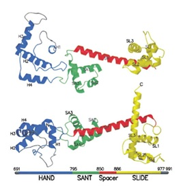Figure 1: HSS domain 3D structure of ISWI ATPase subunit The C-terminus is composed of 12 α-helices making up the HAND, SANT, Spacer, and SLIDE regions. Two different views are shown (5).