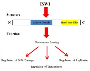 Figure 3: Summary model of ISWI structure and function The C-terminal HSS domain helps tie together the structural and functional relationship of the ISWI family of chromatin remodelers. ISWI functions in nucleosome spacing, regulation of DNA damage, regulation of transcription, and regulation of replication.