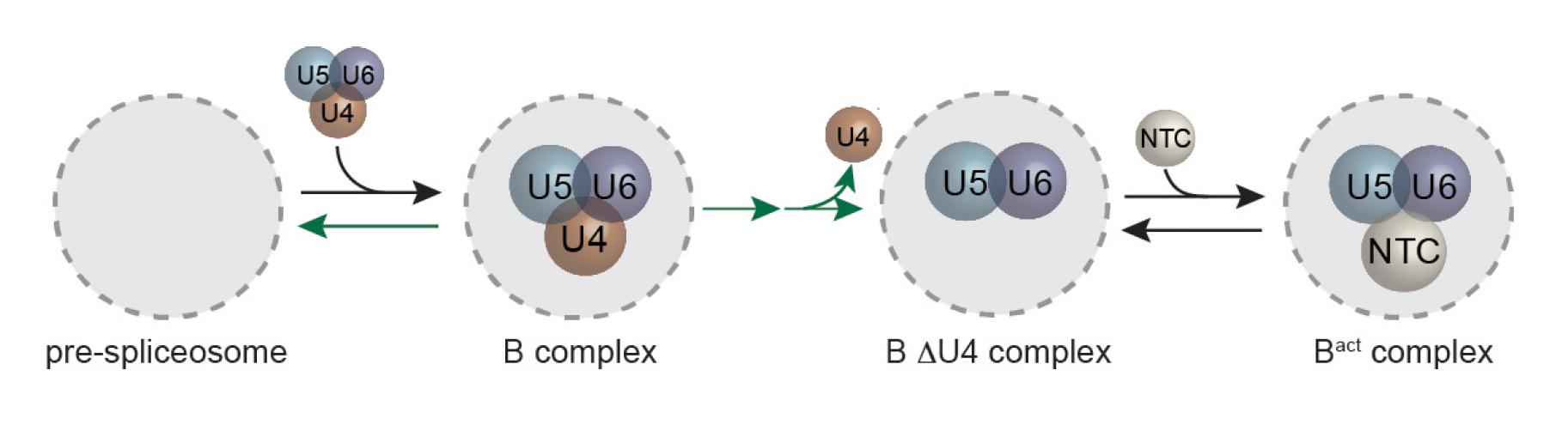 Predominant spliceosome activation pathway
