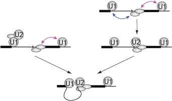 Implications of synergistic U2 recruitment for the mechanism of exon and intron recognition.