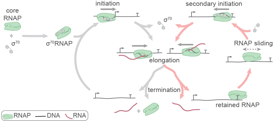 cannonical and alternative bacterial transcription cycles